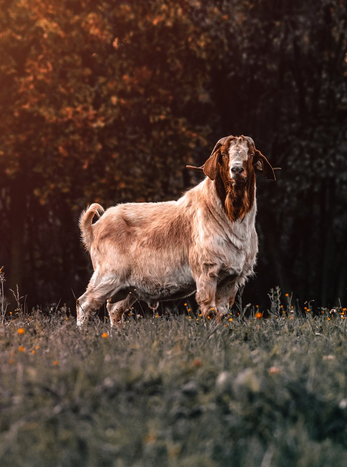 Goat by kerber - Animal Kingdom Photo Contest vol2