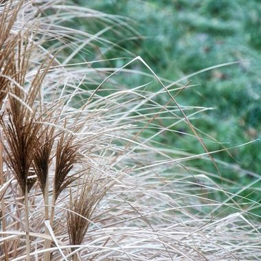 Fountain grass on an overcast morning.