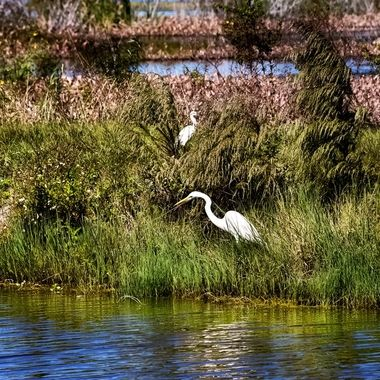 White Heron Fishing NW