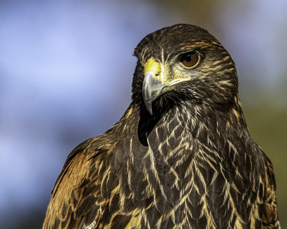 Harris hawk two