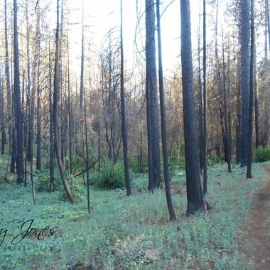 Post wildfire forest