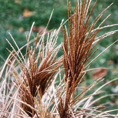 Fountain grass on a frosty morning.