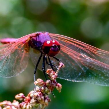 Purple Drop Wing Dragonfly