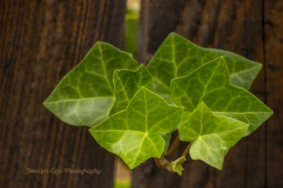 Ivy-Through-the-Fence-by-Jennifer-Renee-Ceja-2019-11-11-dng-jpg-PS-credited