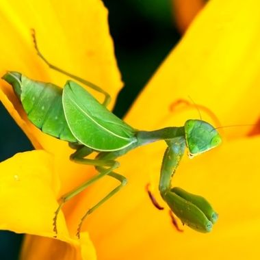 Praying Mantis Green on Yellow day Lilly