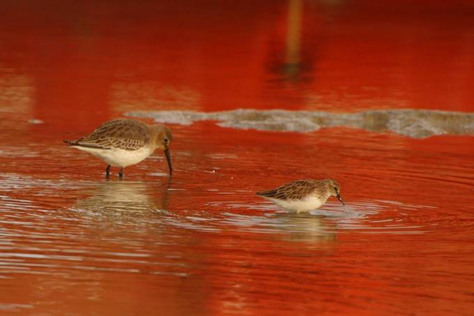 A Dunlin (left) and a Sanderling (right) are feeding in a pool of water in a port area. The red is the reflection of the ship in the background in the water.