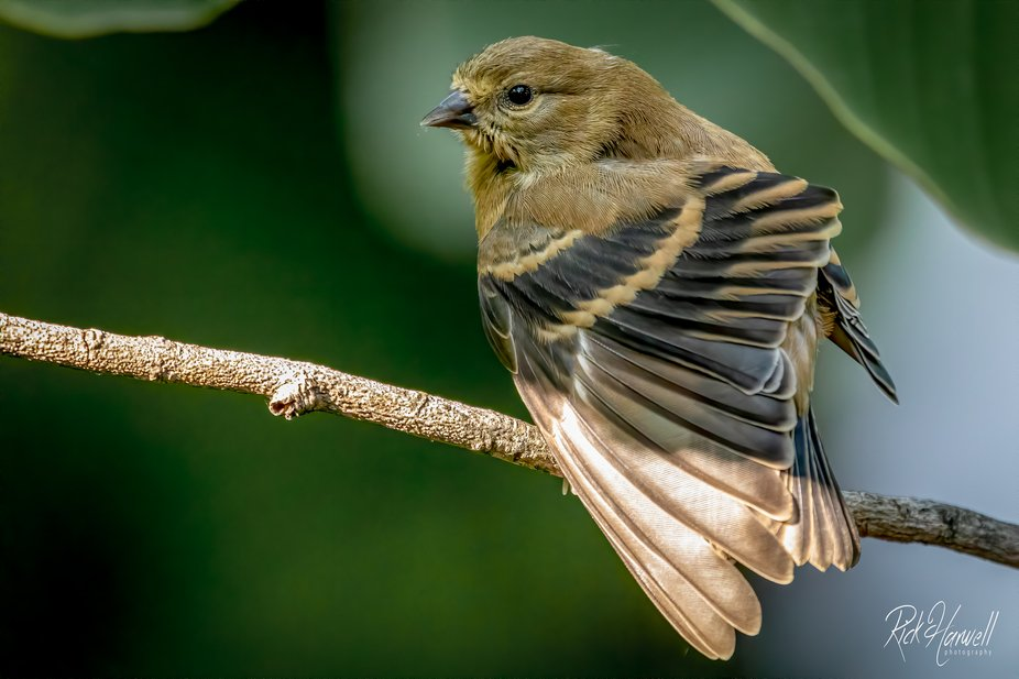 Finch--6
