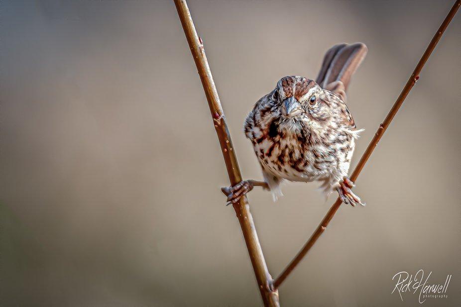 Song Sparrow--2