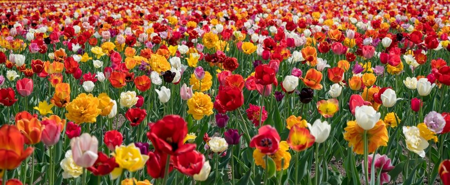 a field of multi colored tulips
