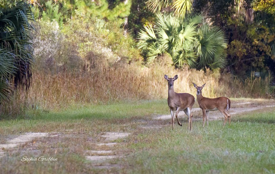 These two White-tailed Deer does were grazing and coming out of the woods onto the trail when the...