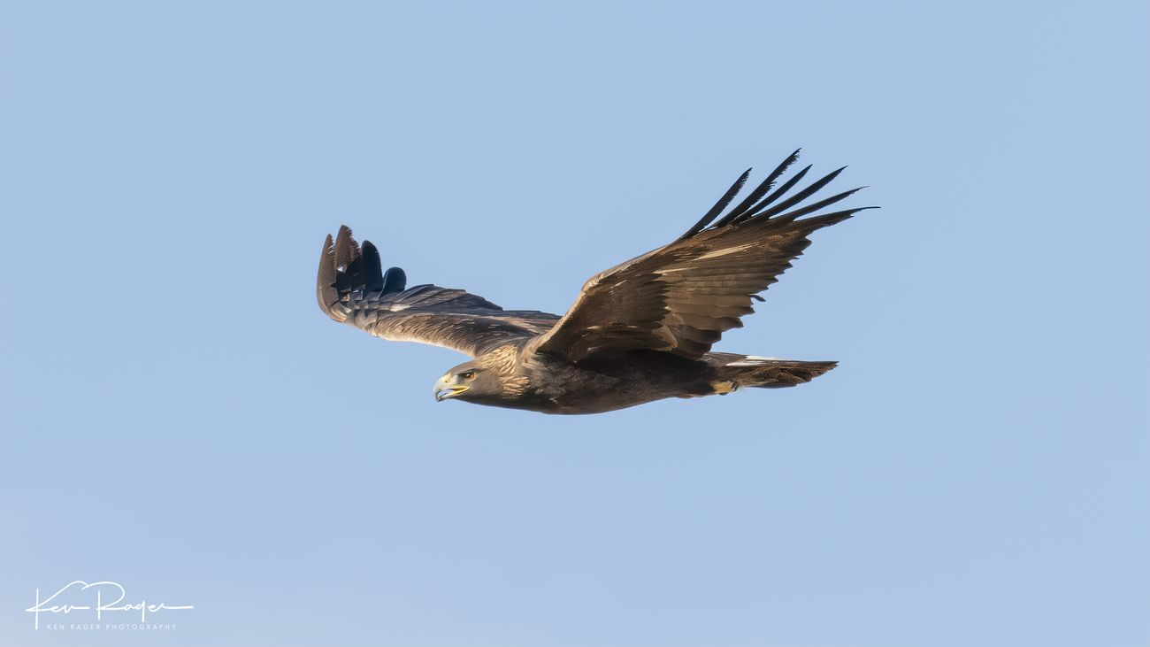 Golden Eagle (1 of 8)