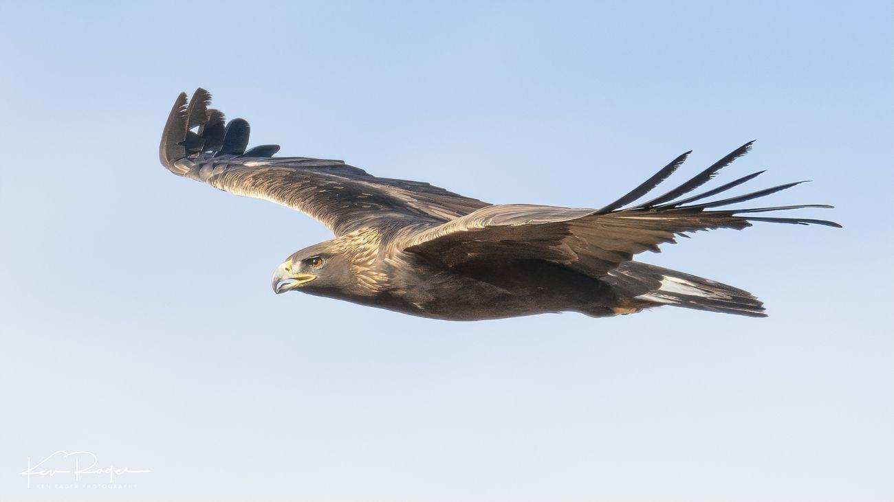 Golden Eagle (2 of 8)