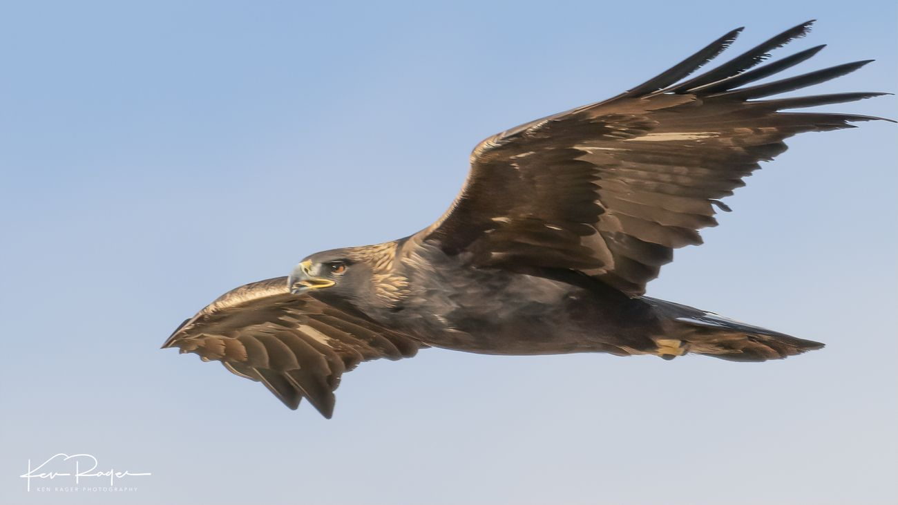 Golden Eagle - Northern Colorado