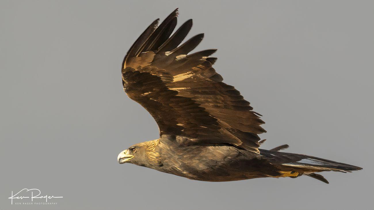 Golden Eagle (5 of 8)