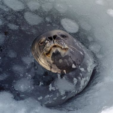 William, the Weddell Seal