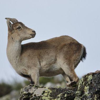 En este mes estan en celo reproductivo. Peña de Francia en Sierra de Francia (Spain)