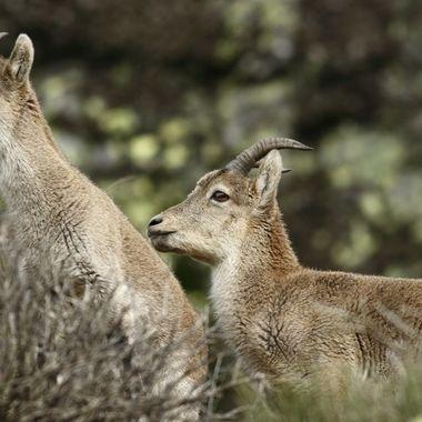 En este mes que estan en celo reproductivo, se forman clanes familiares.Un macho dominante y su harem de hembras,que vigila y protege.