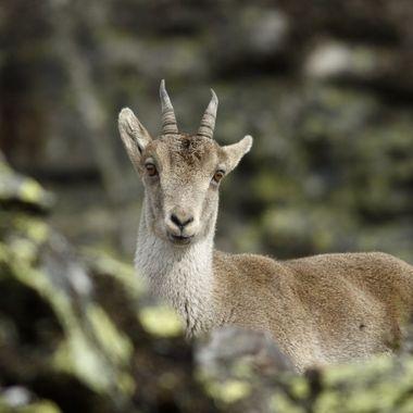 Hembra de cabra montesa. Son animales curiosos que se dejan acercar bastante si te mueves sin prisa.