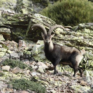 Macho adulto y dominante de cabra montesa en epoca de celo. Si te acercas demasiado al grupo de hembras,te intimida o incluso puede embestir.