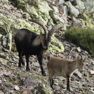 De cabra montesa.En esta epoca de celo (Noviembre).Un macho dominante procura tener agrupadas a sus hembras. Sierra de Francia.Spain