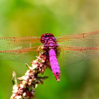Purple Drop Wing Dragonfly
