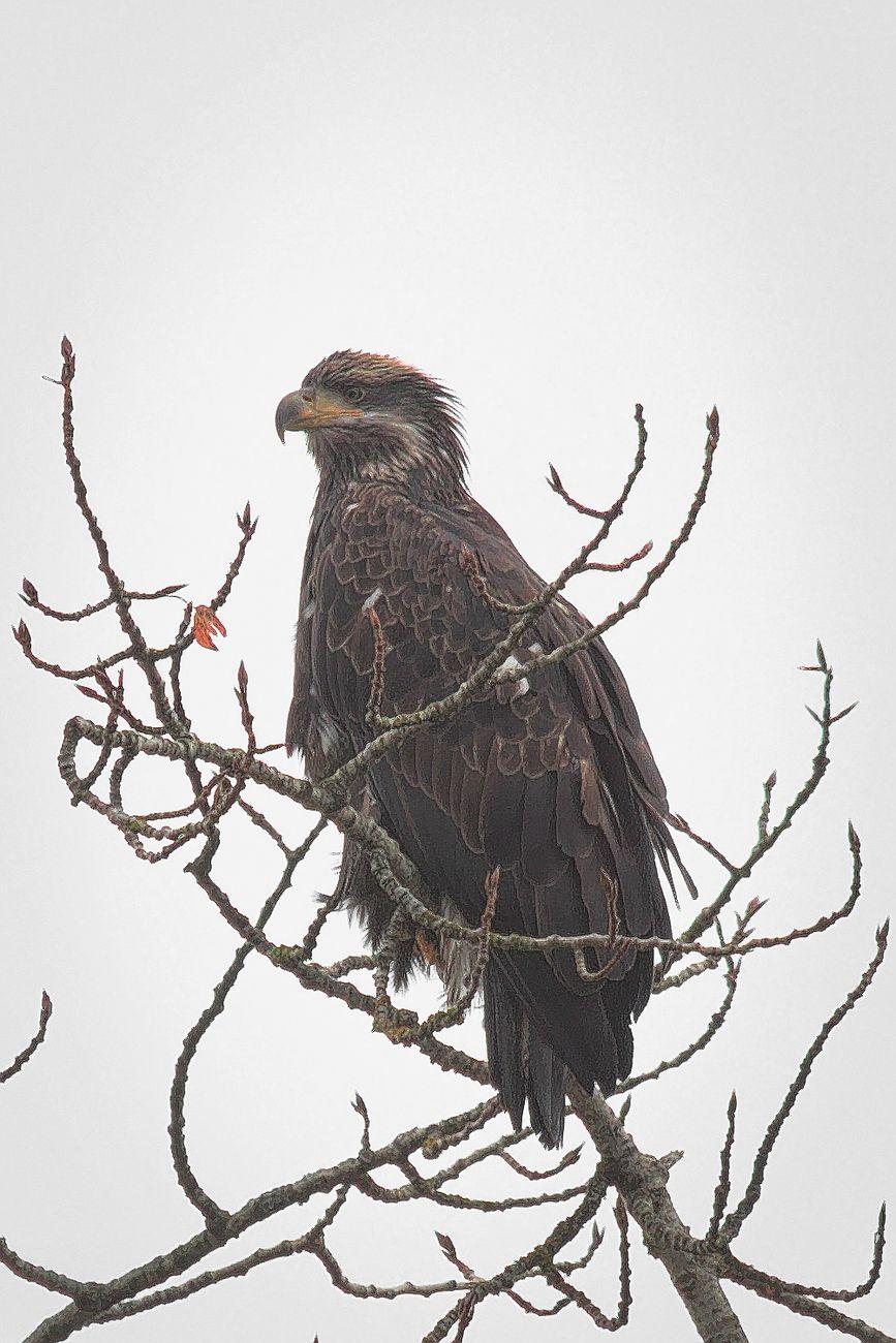 eagle Tsolum River