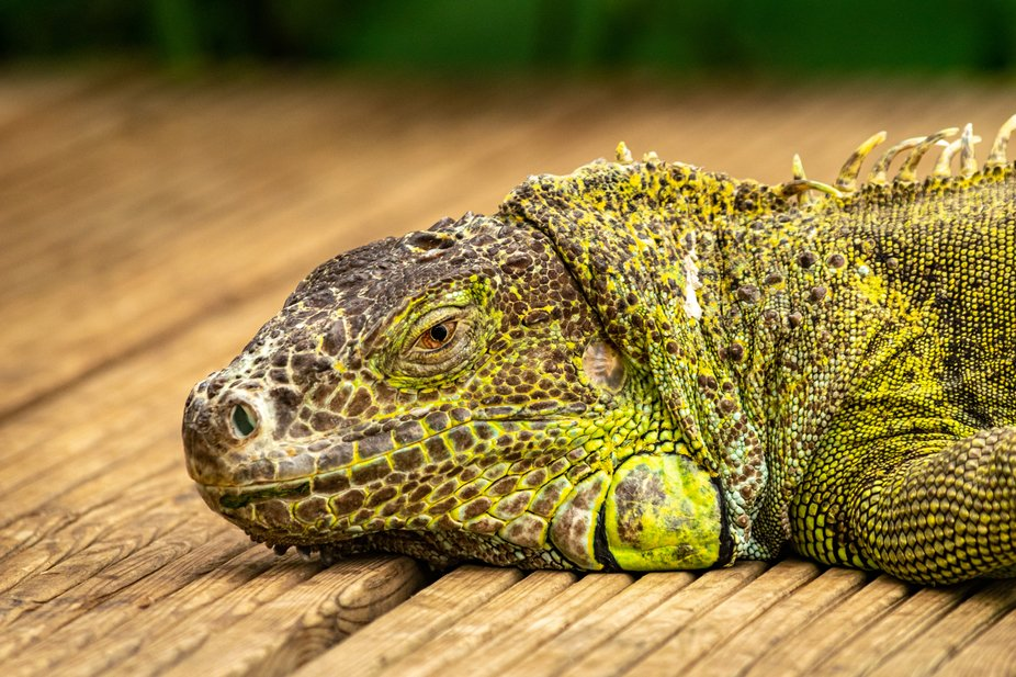 a lime green Iguana laying down and taking a time out in my local butterfly garden in Benalmadena...
