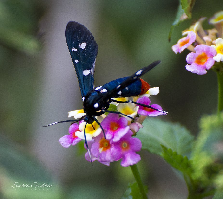 This beauty is not a wasp, but instead is a moth.  It does not sting nor bite and as you can see,...