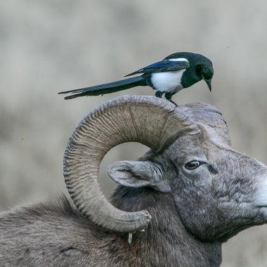 0P6A0015 Bighorn Ram