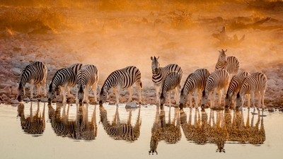 Zebras recto verso