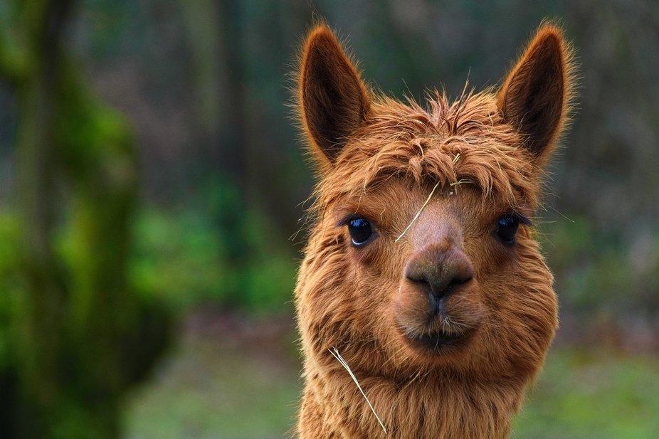 Alpaka / Alpaca / Vicugna pacos