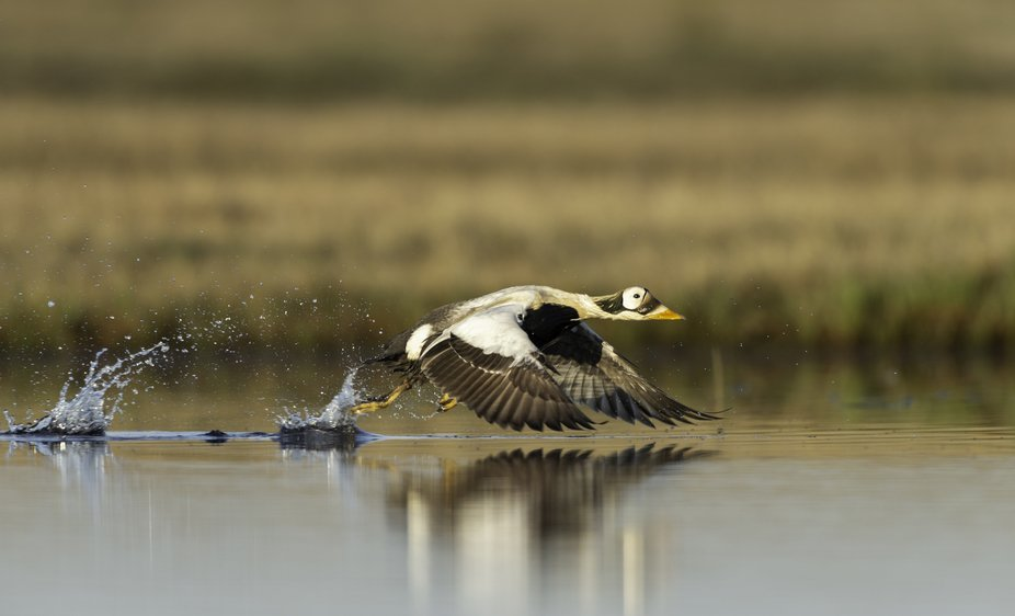 Spectacled Eider taking flight in arctic tundra of Alaska