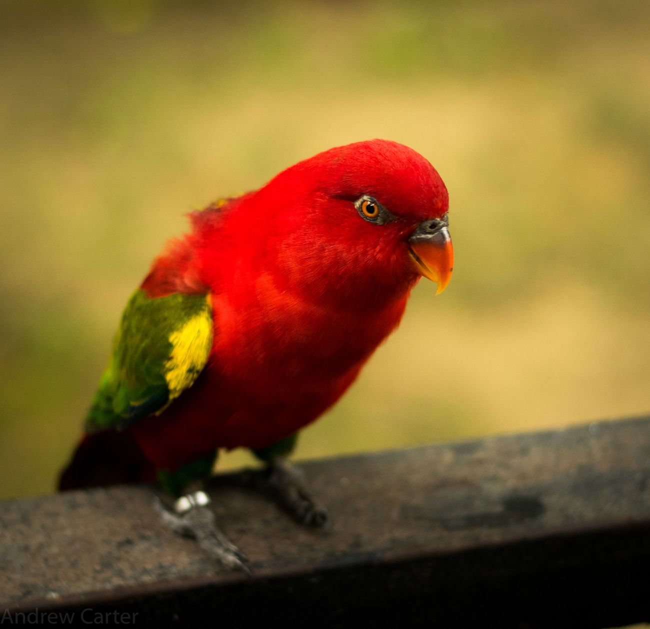 Small red bird