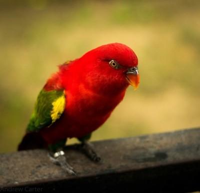 Small red bird
