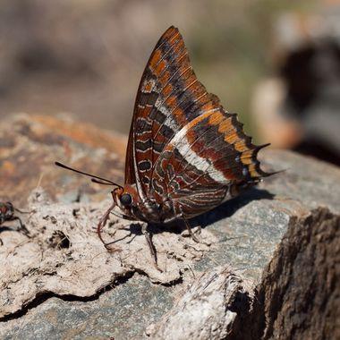 La Charaxes jasius o mariposa del madroño, solo se encuentra en las zonas de los madroños (Arbustos arboreos) del ecosistema mediterraneo, pero no esta en todas las madroñeras. Fotografiada en Batuecas (Sierra de Francia), libando los minerales de un excremento seco de zorro.