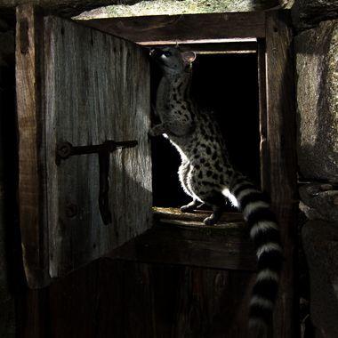 Gineta en libertad, en cabaña abandonada. Foto con barrera de IR y dos flashes a contraluz. Sierra de Francia
