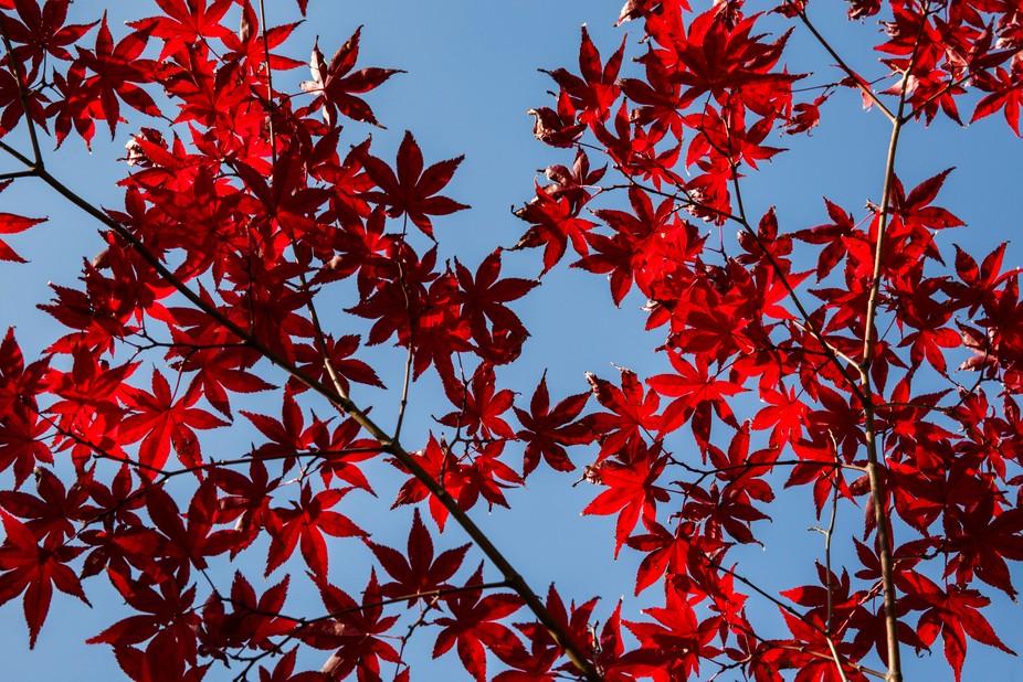 Japanese maple leaves, Eikando temple, Kyoto