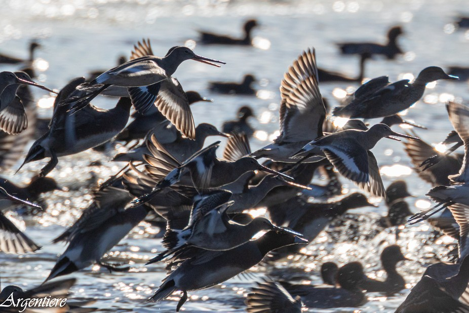 A collection of waterbirds and waders being spooked by something in the adjacent reeds.....possib...