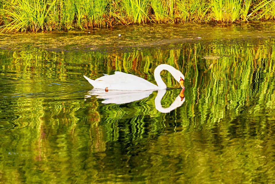 Lone Mute Swan on a pond