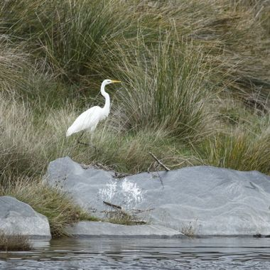Garceta grande (Ave acuatica.Invernante), en el rio Alagon.Sierra de Francia (Salamanca-Spain), con obj.400 mm Canon a pulso