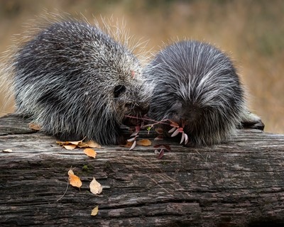 _P0I1748 Porcupines sharing a branch of leaves