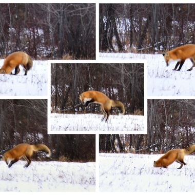 I shot these from our deck, watching this red fox hunting mice in the field behind the house. I it would run around with it's head by or in the snow, then rear back, jump in the air and dive head first into the snow!