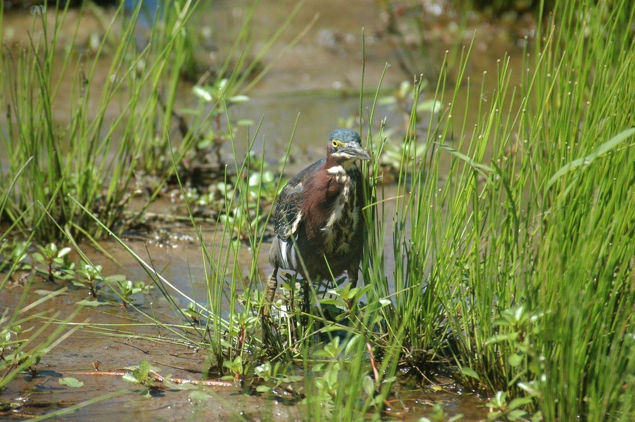Green Heron in a Marsh