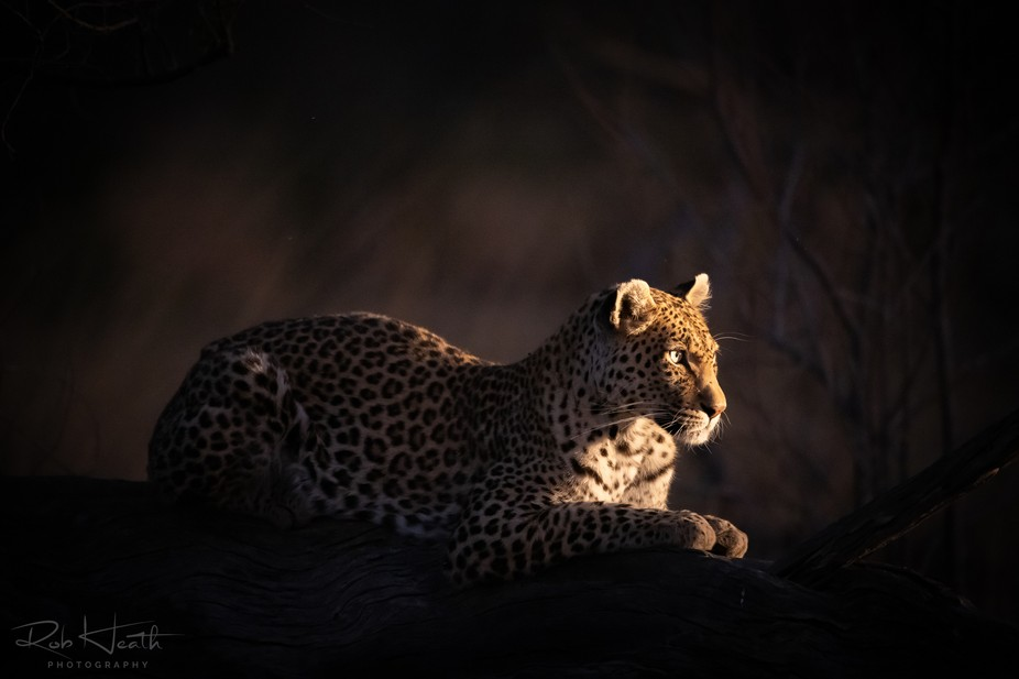 Female leopard, night photography.