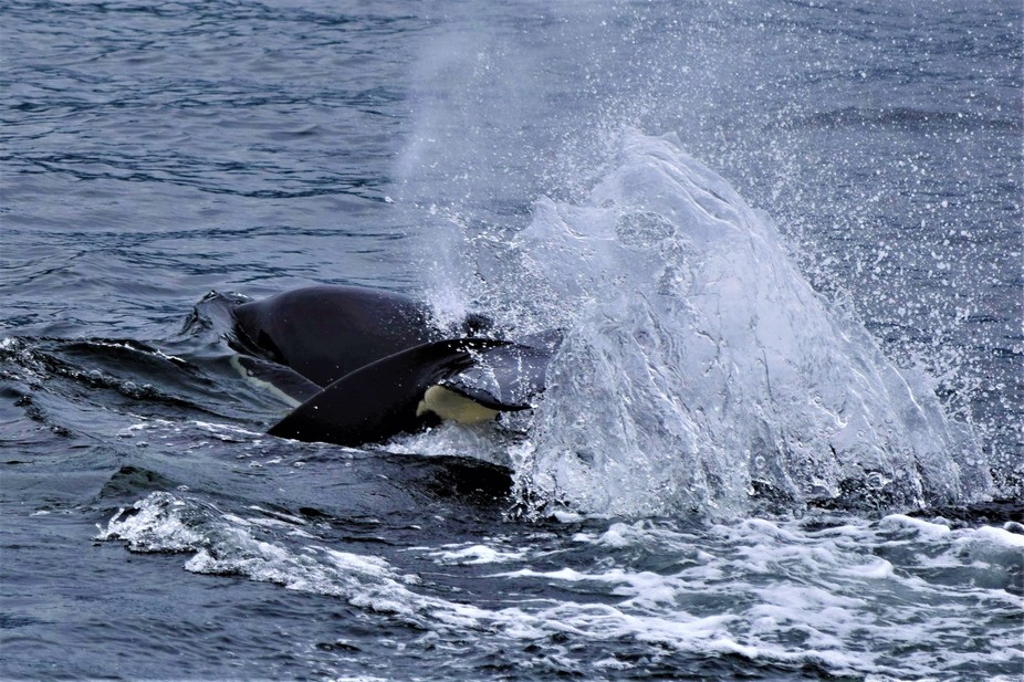 This was killer whales playing next to our boat.
