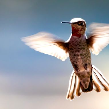Humming Birds California