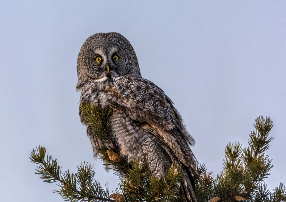 Great Gray Owl found near Two Harbors, MN
