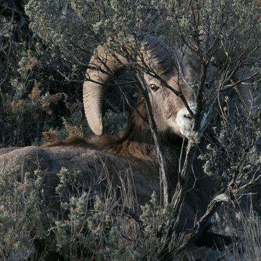 0P6A0083 Bighorn Sheep