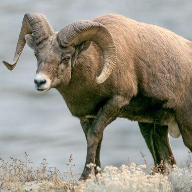 0P6A0111-2 Bighorn Sheep