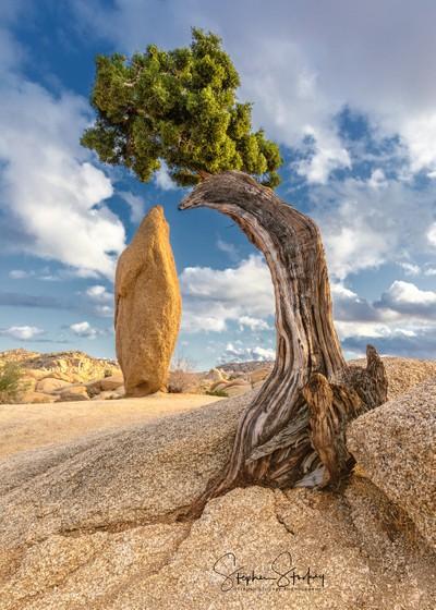 Bent But Not Broken - Joshua Tree NP